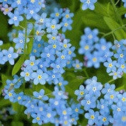 Forget Me Not, Chinese