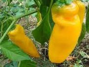 Golden Marconi Pepper
