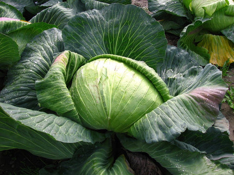 Late Flat Dutch Cabbage