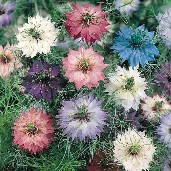love in a mist mary 39 s heirloom seeds. Black Bedroom Furniture Sets. Home Design Ideas