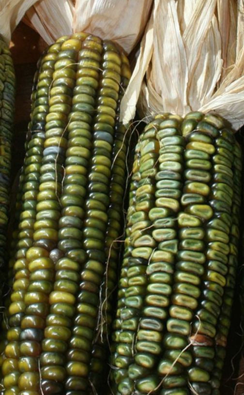 Oaxacan Green Corn