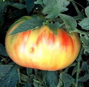 Old German Tomato