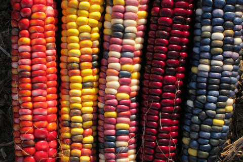Painted Mountain Corn