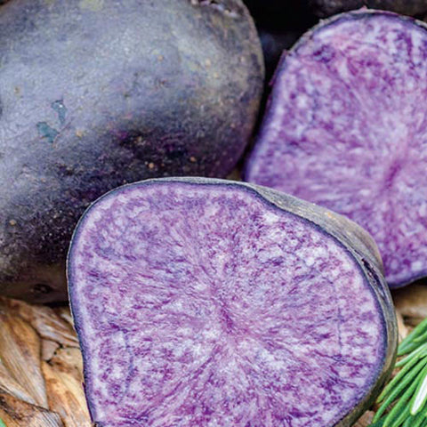 PURPLE Majesty Seed Potato