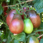 Purple Pear Tomato