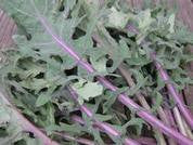 "Russian Red ""Ragged Jack"" Kale"