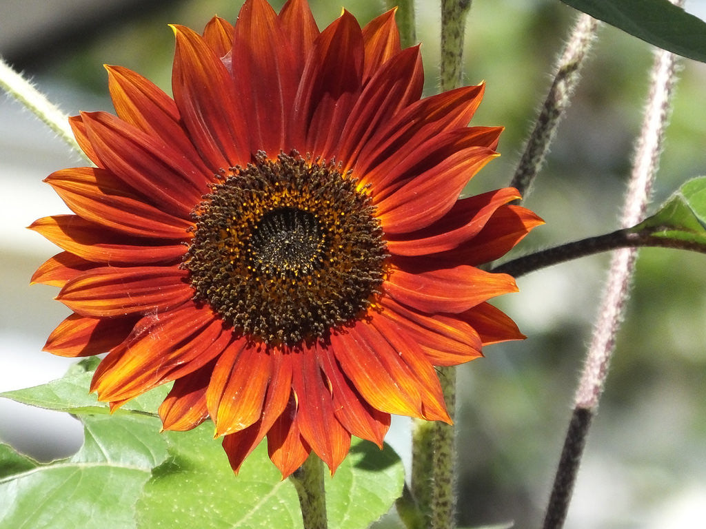 Sunflower, Red Sun