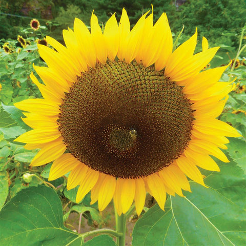 Sunflower, Russian Mammoth
