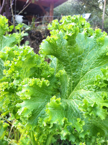 Southern Giant Mustard