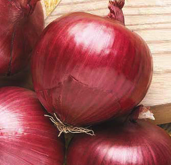 Southport Red Globe Onion