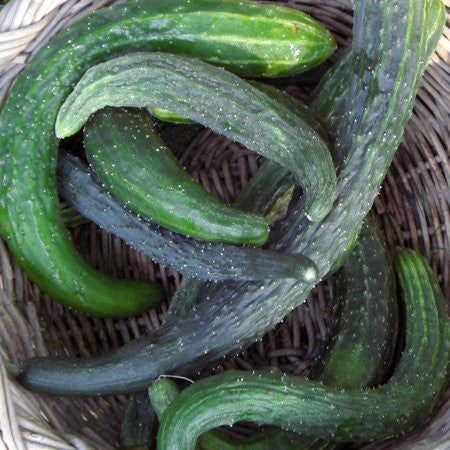 Suyo Long Cucumber