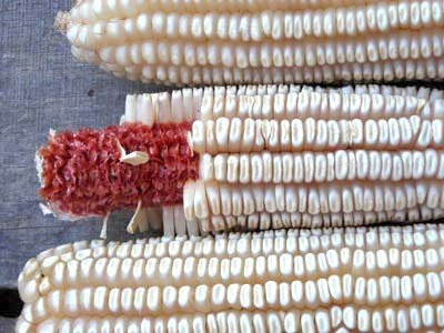 Tennessee Red Cob Corn