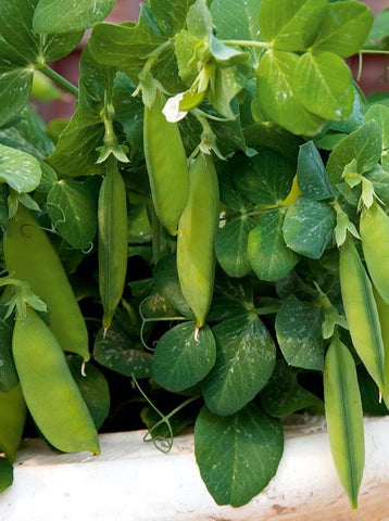 Tom Thumb Garden Pea