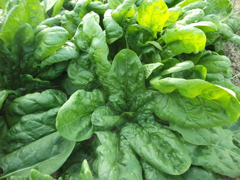 200 Spinach Seeds Monstreux de Viroflay 2021 Seeds Grown in 2020