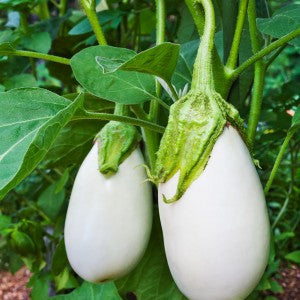 White Beauty Eggplant