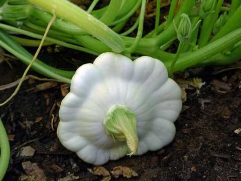 White Scallop Squash
