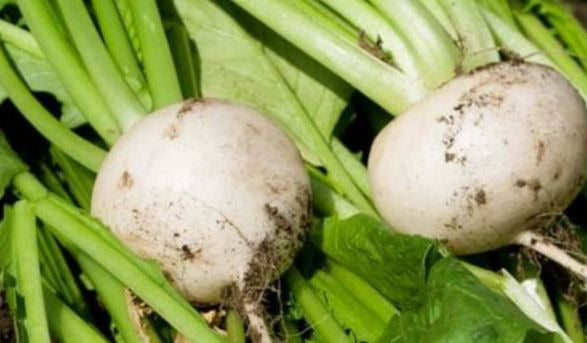 White Egg Turnip