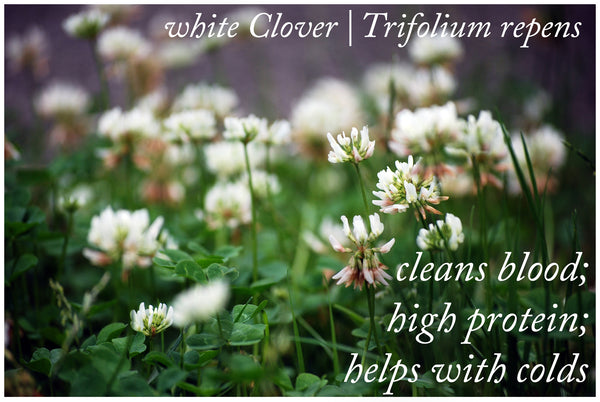 Medicinal Uses of White Clover | Trifolium repens