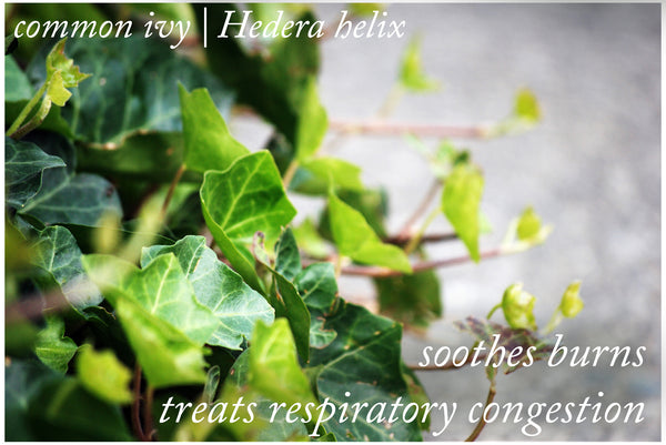 Medicinal Uses of English ivy | Hedera helix
