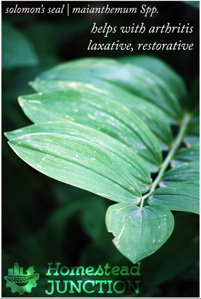 Medicinal Uses of Solomon's seal | maianthemum Spp.