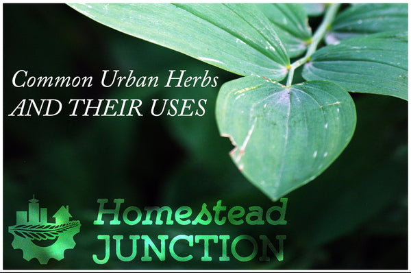 Common Urban Herbs and Their Uses