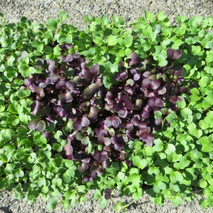 20160428 Growing Microgreens