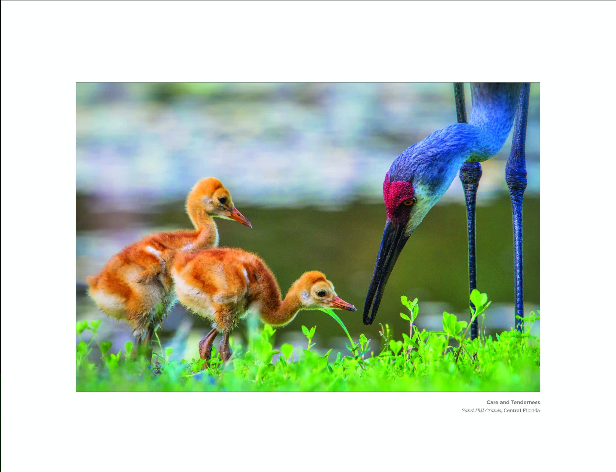 Care and Tenderness: Sand Hill Cranes Birds, Central Florida Beholding Nature Eric Horan photography book