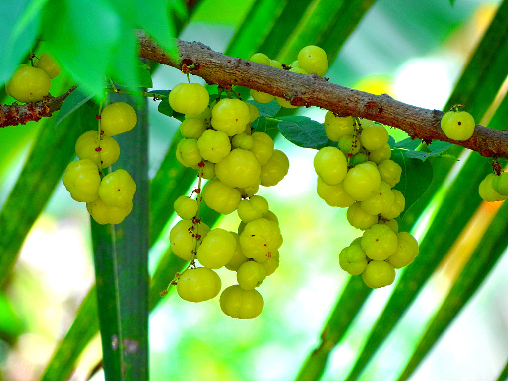 Amla: The Next Super-Fruit