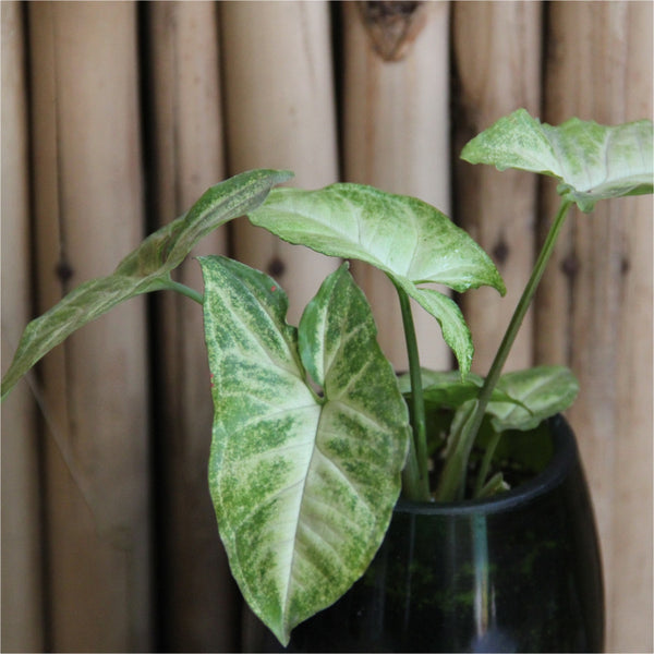 Champagne Planter with Arrowhead Syngonium