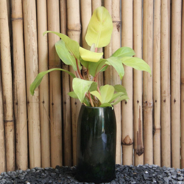 Champagne Planter with Philodendron