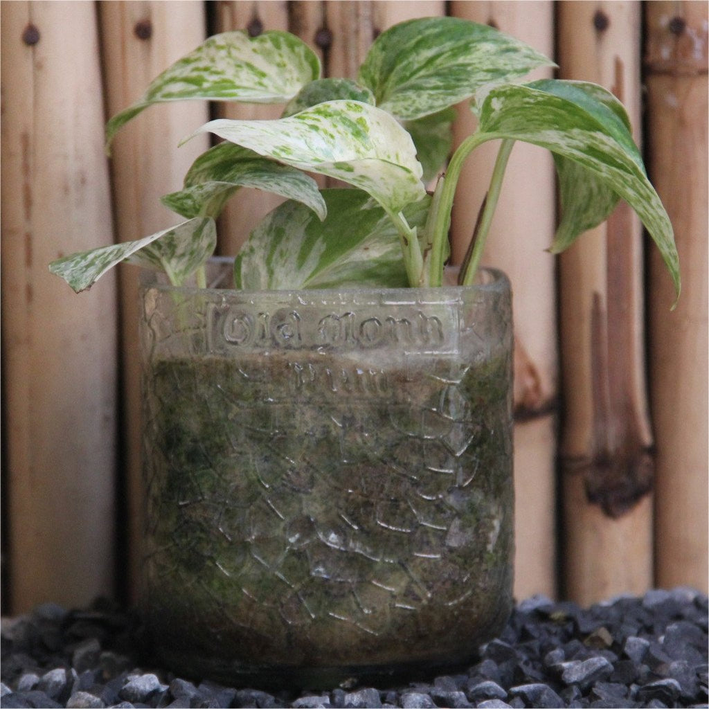 Old Monk Tumbler With Pothos