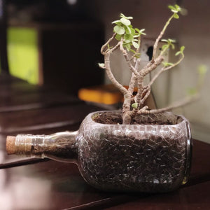 OLD MONK PLANTER - JADE PLANT - Green The Map Upcycled Recycled Fairtrade Ecofriendly