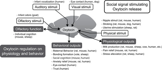 Summary of the role of the oxytocin system in reciprocal communication. Central oxytocin release is stimulated by multiple sensory signals, such as olfactory, auditory, visual, and physical inputs. In particular, physiological stimuli are known to induce oxytocin system activation in mammals. When oxytocin release is increased in the central nervous system, many sensory, physiological, and behavioral functions are enhanced. Maternal as well as affiliative behaviors are enhanced by oxytocin. Additionally, negative responses, such as pain, stress endocrine, and anxiety behaviors are diminished by oxytocin.