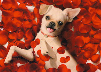 Chihuahua Valentine's Card