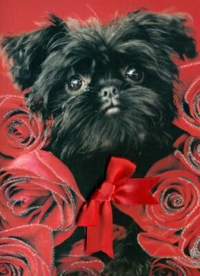 "Affenpinscher Birthday Card ""Ziggy"""