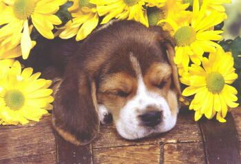Beagle Puppy Get Well Card