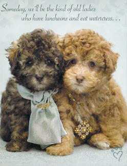 Poodle Friendship Card