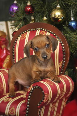 dachshund christmas cards