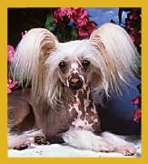 Itty Bitty Chinese Crested Bookmark