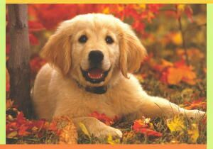 Golden Retriever Puppy Happy Autumn Card