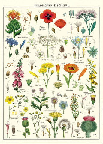 Cavallini - Wildflowers - Wrapping Paper / Poster