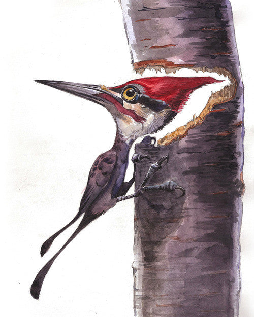 """Pileated Woodpecker""  Marc Anderson, artist"