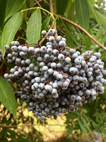 Sambucus caerulea — Blue Elderberry — 50 Seeds