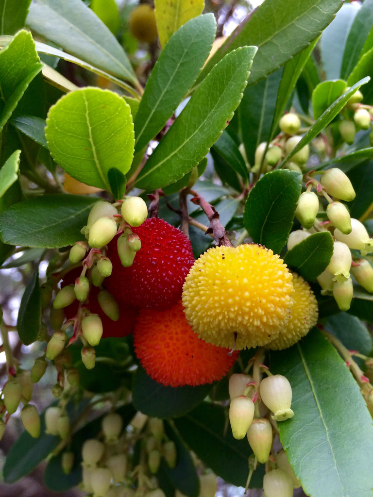 Arbutus unedo — Strawberry Tree — 35 Seeds
