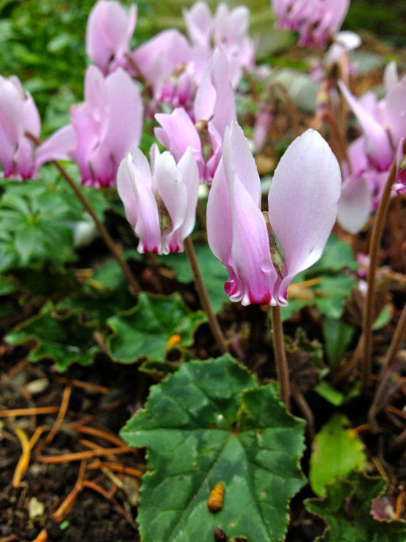 Cyclamen hederifolium Seeds (Hardy Cyclamen, Ivy-leaved Cyclamen)