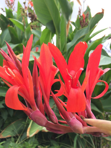 Canna indica — Wild Canna Lily — 20 Seeds