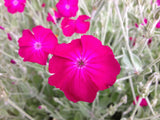 Silene coronaria or Lynchis coronaria Seeds (Rose Campion, Bloody Mary, Bloody William, Lychnis, Mullein Pinks)