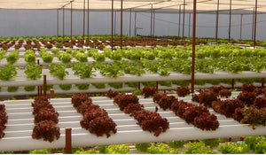 Hydroponic lettuce in vertical NFT system