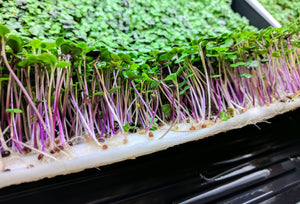 microgreens growing on Vegbed bamboo fiber microgreen mat