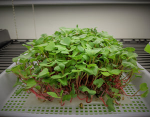 microgreens growing on vegbed bamboo fiber microgreens mat under light